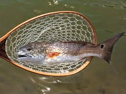 Fish On Redfish Red Drum Length And Weight Chart