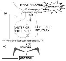 Depression The Role Of Hpa Abnormalities Associated Disorders