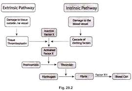 Hematology Flow Chart Blood Clotting Mechanisms And Stages Blood Hematology