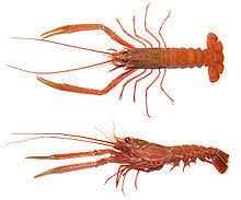 Lobster Wikipedia