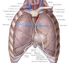 реферат сердце Положение сердца в грудной клетке перикард вскрыт 1 левая подключичная артерия a subclavia sinistra 2 левая общая сонная артерия a carotis