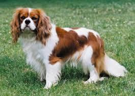 best dog foods for the senior cavalier king charles spaniel