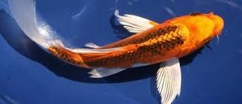 Ikan Koi Hirenaga