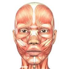 Facial Muscle Chart