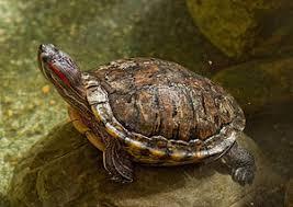 Painted Turtle Wikipedia
