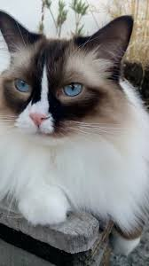78 best images about my ragdoll cats traditional bailey seal bicolor ragdoll