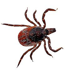 Image result for deer tick