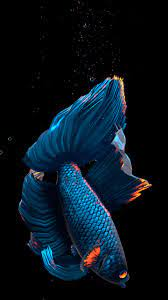 Betta Fish Live Wallpaper FREE ...
