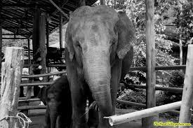 photo essay an elephant camp in black and white elephants at an elephant camp near chiang mai thailand