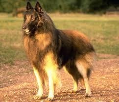 home dog breeds belgian tervuren