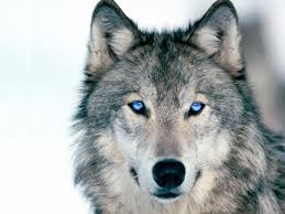 you don t need to go into the wide blue yonder to find this stunning wolf