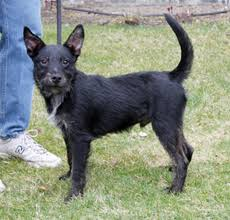 scottish terrier mix. Brilliant Terrier Scottish Terrier Chihuahua Mix Dog For C