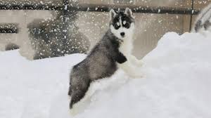 baby husky in snow. Fine Husky Siberian Husky Puppies First Time Meet Snow Inside Baby In YouTube