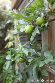 Espaliering Want To Do This To An Asian Pear Along Our Back Wall Growing Cordon Fruit Trees
