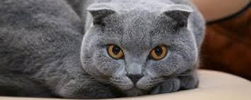 how much does a scottish fold weight