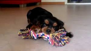 cavalier king charles spaniel black and tan puppy.  Cavalier For Cavalier King Charles Spaniel Black And Tan Puppy I