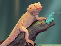 image titled care for bearded dragons step 16