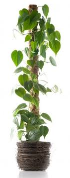 How To Support Climbing Houseplants IndoorsClimbing Plants Indoor