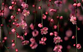 photo collection pink flowers desktop theme