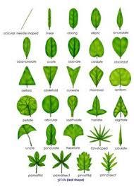 14 Best Leaf Shapes Images Leaf Shapes Shapes Leaves