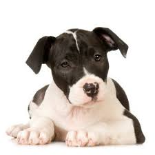 white and black pitbull puppies.  Pitbull Black And White Pitbull Puppy On White And Puppies C