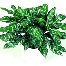 Best office plants no sunlight Indoor Flowering Indoor Plants No Sunlight Indoor Plants No Sun Astonishing Office Decorating Best Without Sunlight Minimal No Sunlight Best Office Plants Indian Indoor Sellmytees Indoor Plants No Sunlight Indoor Plants No Sun Astonishing Office