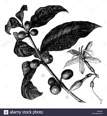 vintage coffee plant illustration. Beautiful Plant Coffea Ou Du0027arbustes Et De Fruits Caf Vintage Gravure  Illustration Grave In Coffee Plant Illustration D