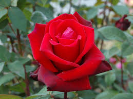 Roses Flowers Wallpapers Red Rose Flowers Rose Wallpapers Wallpaper Pictures Of Rose Red