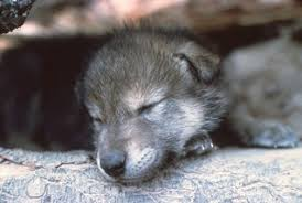 newborn gray wolf pups. Simple Wolf Grey Wolf Pups In Newborn Gray Pups I
