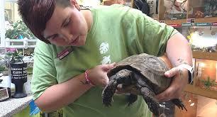 Leopard Tortoise Size Chart 5 Of The Best Pet Tortoises Reptile Centre
