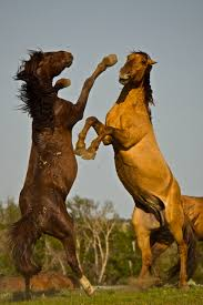 wild horses mustang fighting. Perfect Fighting At War  For Dominance And A Mare Intended Wild Horses Mustang Fighting E