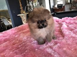 pomeranian puppy for in jamul ca usa