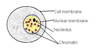 Image result for interphase