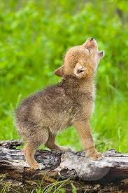 cute baby wolf in the wild. Howling Wolf Pup Adorable Baby Wolves Art Cute Animals Throughout In The Wild Pinterest