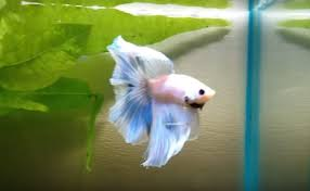 Small Fish Bowl Decorations Best decorations and plants recommended for a small Betta fish tank 51