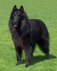 view the full image belgian shepherd dog groenendael 2 jpg
