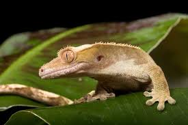 all about crested geckos