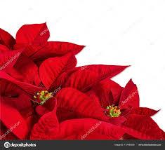 Roten Weihnachtsstern Blume Euphorbia Pulcherrima Auf Weiß