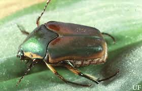 japanese beetles life cycle white grubs phyllophaga and other species