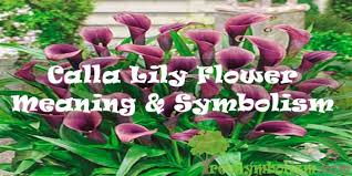 35 calla lily flower meaning symbolism