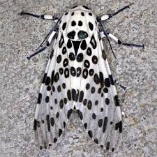 Moth Identification Chart Moth Photographers Group Hypercompe Scribonia 8146