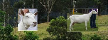 Dairy Goat Breeds Dairy Goat Breeds Queensland Branch Of The Dairy Goat