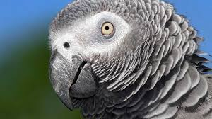 animal minds the economist the chatterbox parrot