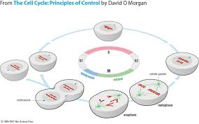 cell cycle flip book file general cell cycle jpg wikimedia commons