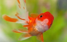 goldfish wallpaper desktop. Modren Goldfish 1600x1200 Goldfish Wallpapers  HD To Wallpaper Desktop H
