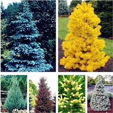 2019 colorado blue fir seeds plants blue spruce seeds picea tree potted bonsai courtyard garden bonsai plant pine tree seeds from ymhzpy 0 51 dhgate com