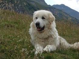 white bernese mountain dog. Plain Mountain 10 With White Bernese Mountain Dog