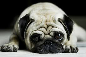 pug puppies ipad wallpaper. Exellent Puppies Images For U003e Cute Pug Wallpaper Throughout Puppies Ipad B