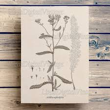 Yarrow Digital Print Vintage Antique Botanical Illustration Instant Download Botanical Print Botanical Chart Art Print Vintage Jpg Png