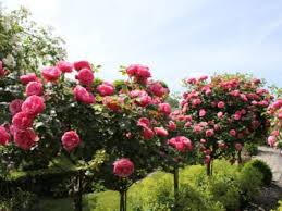 what is a tree rose rose standards